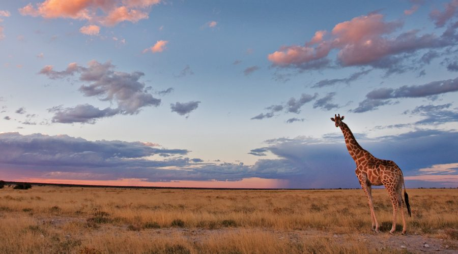 Giraffe in Etosha, Toon.