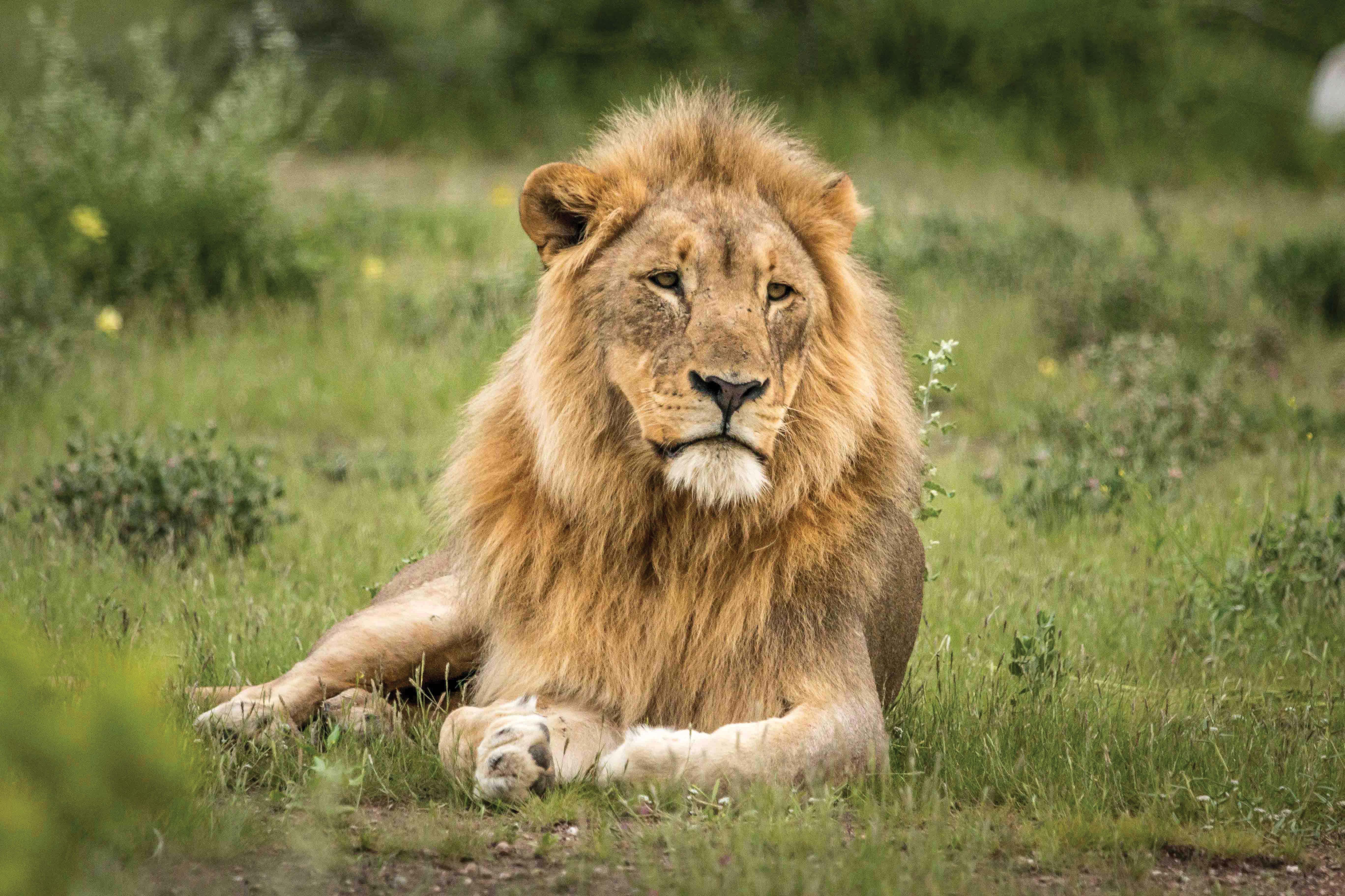 TB Lion Namutoni ENP