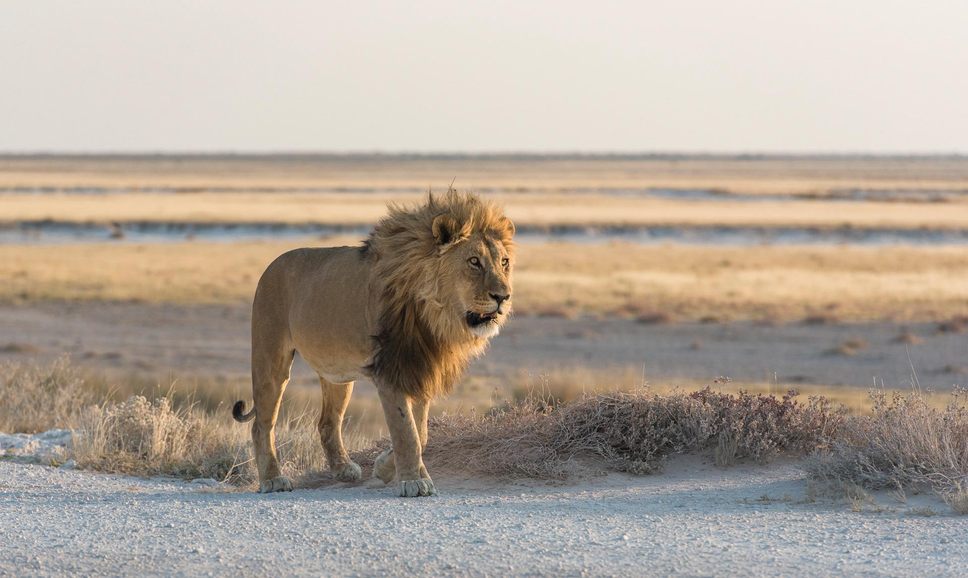 Etosha lion Anja Denker