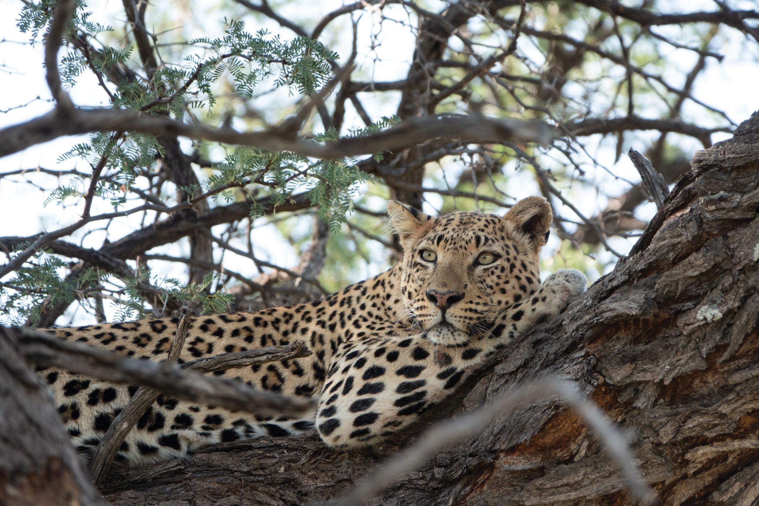 leopard okonjima
